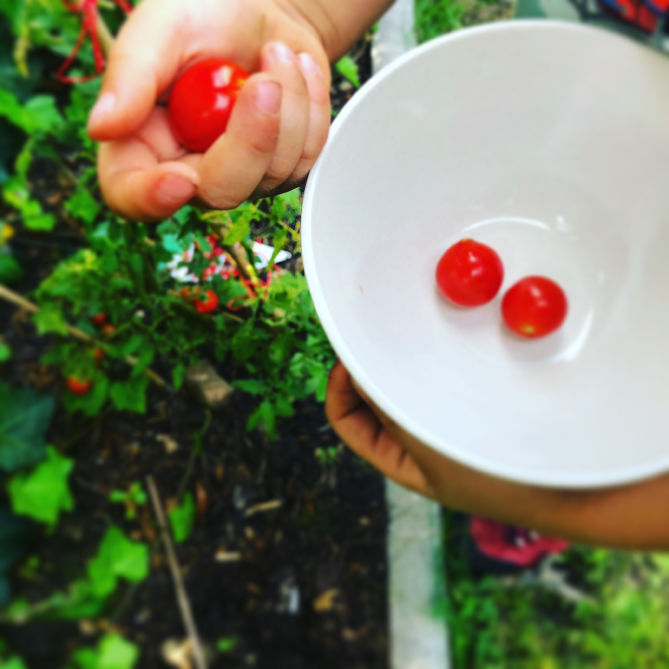 kid picking tomatoes
