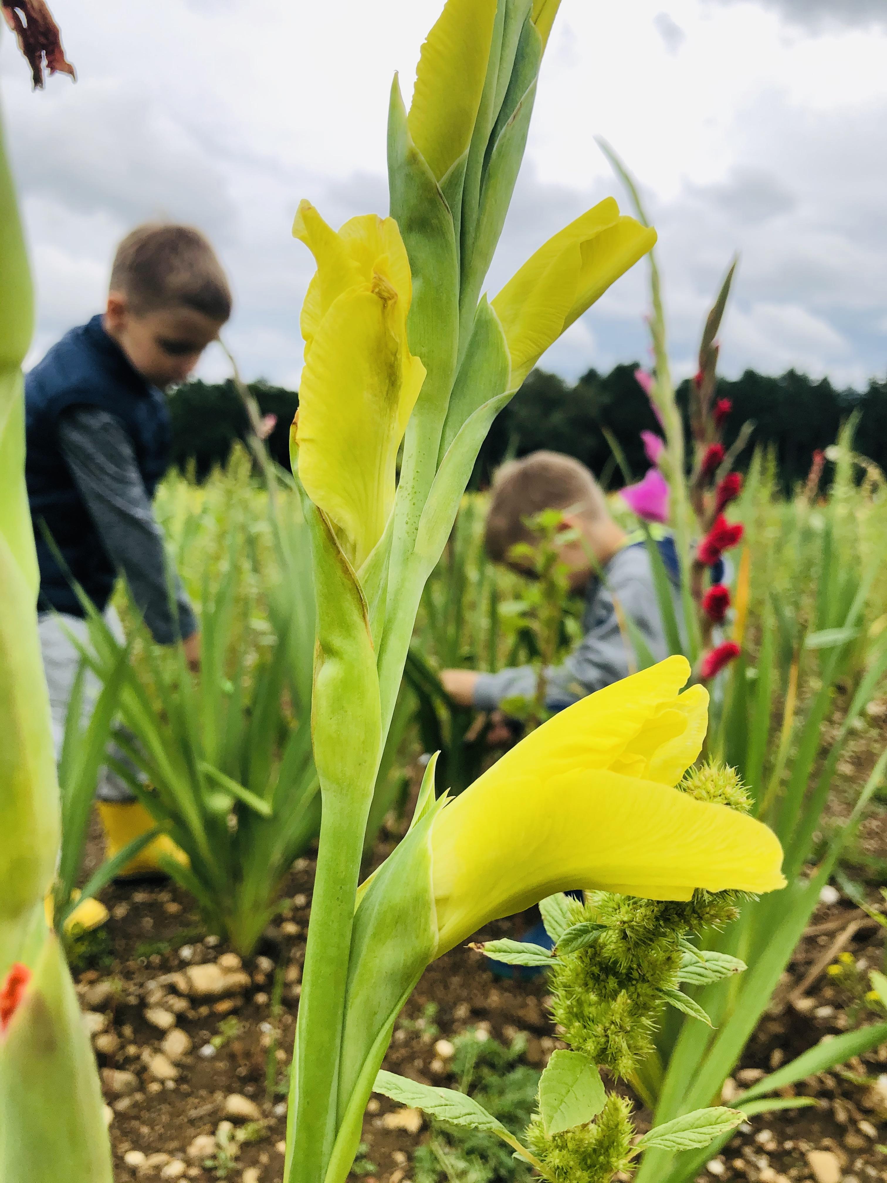 harvesting flowers in the field