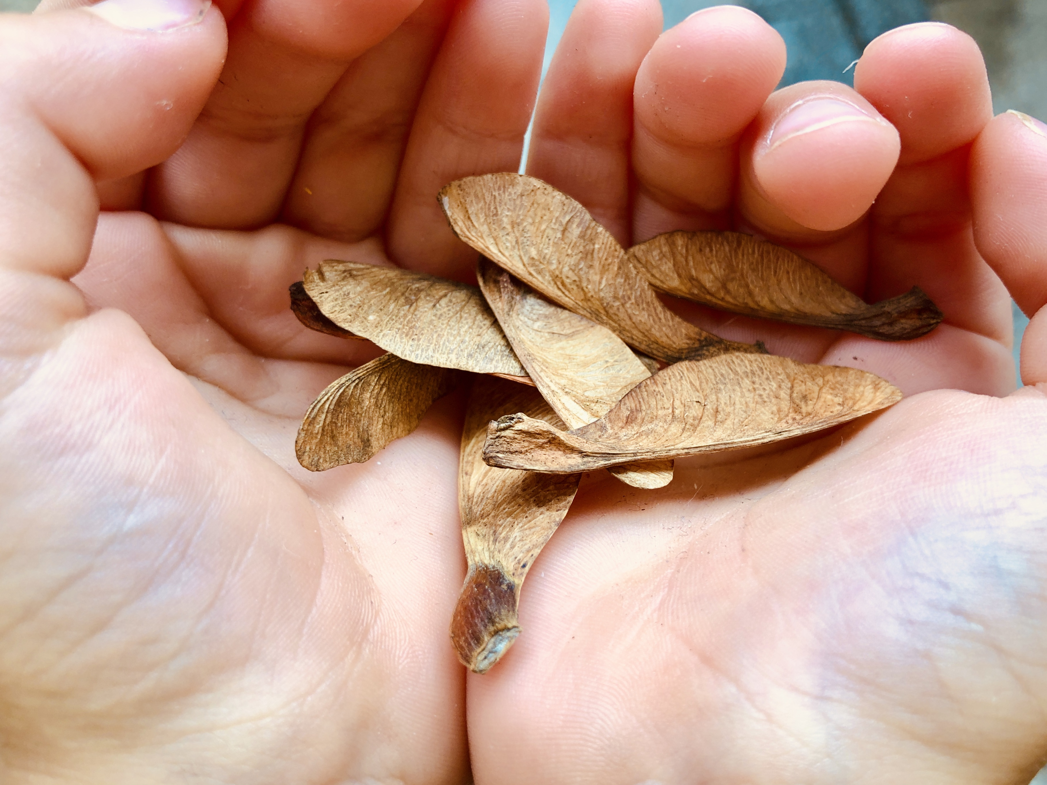 collecting maple tree seeds for dragonflies